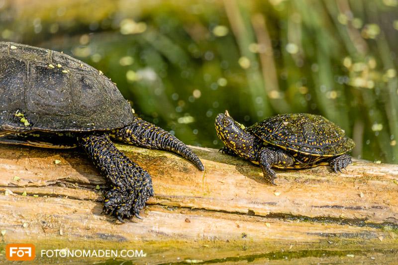 Sumpfschildkröte auf Baumstamm