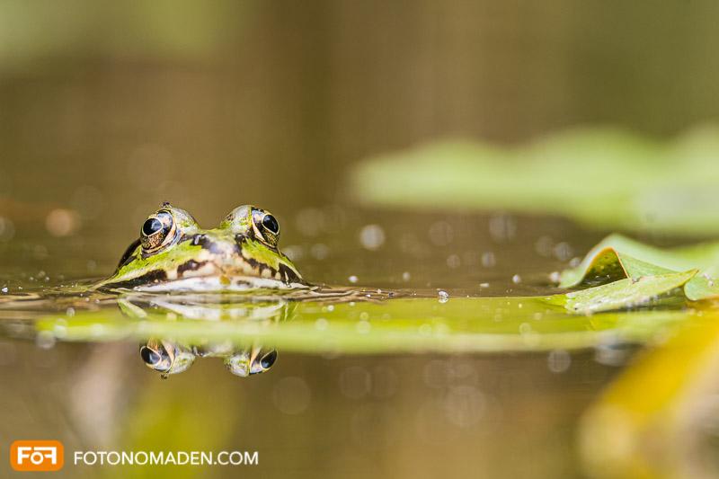 Schöne Herbstbilder: Frosch im Wasser mit Spiegelung