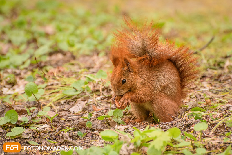 Schöne Herbstbilder: Eichhörnchen mit Nuß