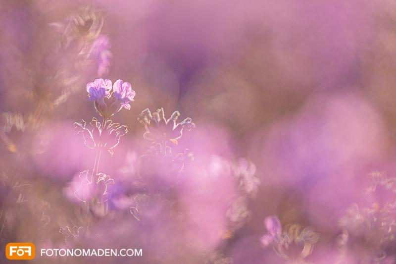 Nahaufnahme mit schönem Bokeh von Lavendelblüte