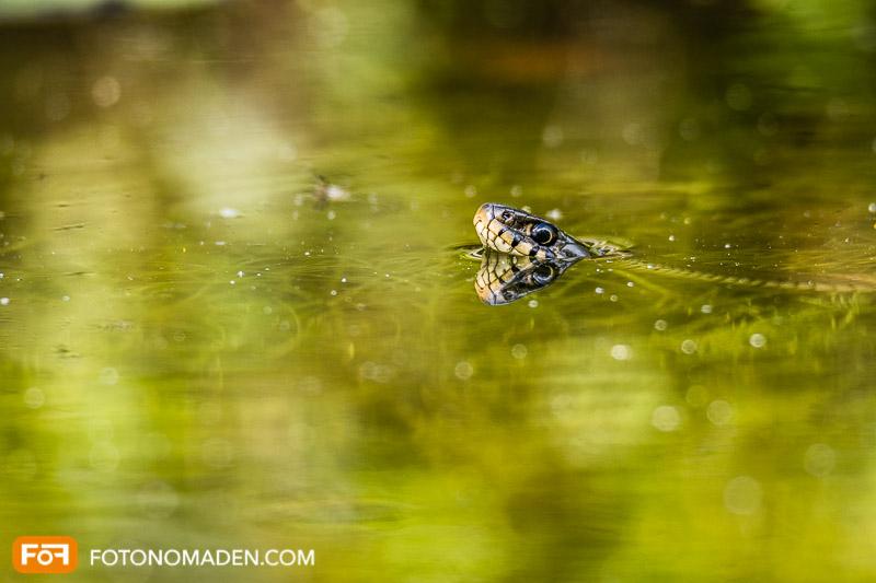 Natur Fotolocation Nationalpark Donauauen: Ringelnatter im Wasser mit Spiegelung