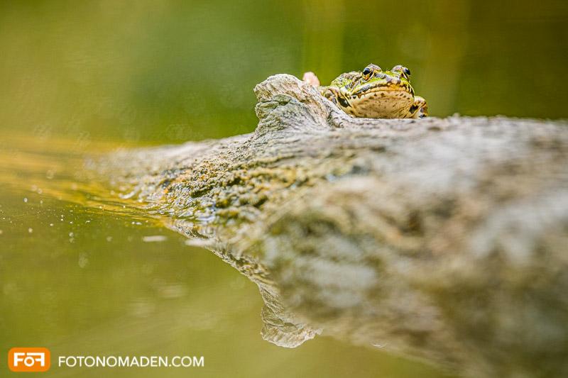Natur Fotolocation Nationalpark Donauauen: Frosch auf Baumstamm mit Spiegelung