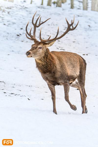 Natur Fotolocations: Rothirsch im Schnee, Nationalpark Berchtesgaden