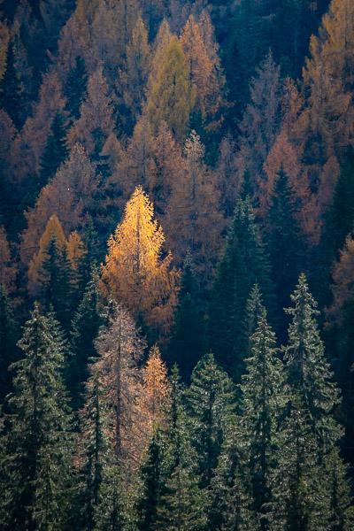 Waldfotografie Herbstwald mit gelber Lärche