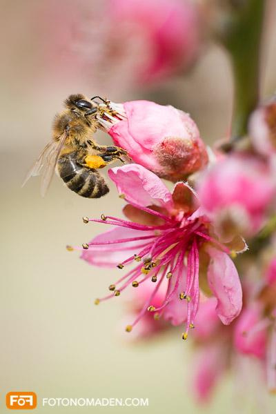 Pfirsichblüte Wachau Nahaufnahme