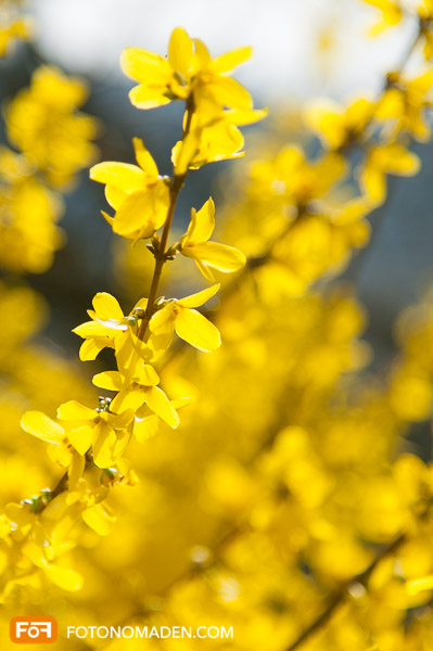 Forsythienblüte Wachau