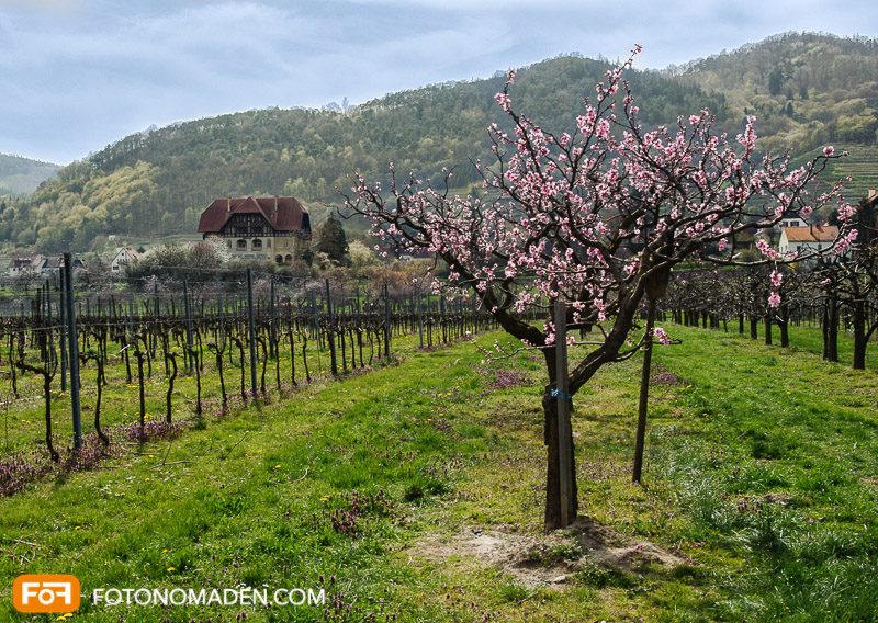 Obstbaumblüte Wachau