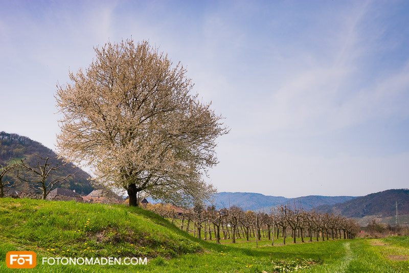Blühender Obstbaum Wachau Frühling