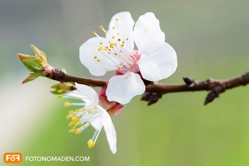 Marillenblüte Wachau Nahaufnahme