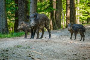 Wildschwein mit Frischlingen im Wald