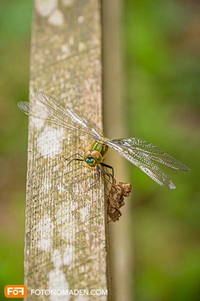 Libelle auf Geländer