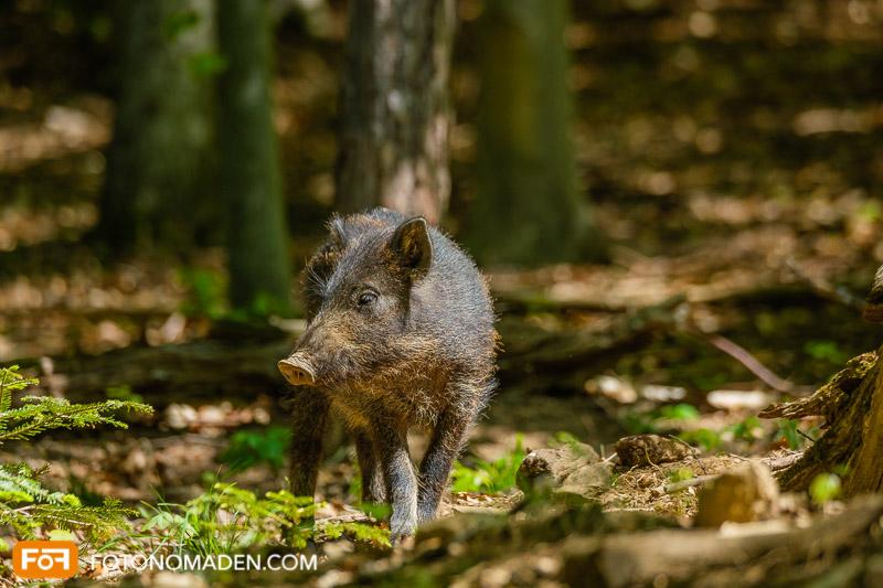 Wildschwein Frischling im Wald