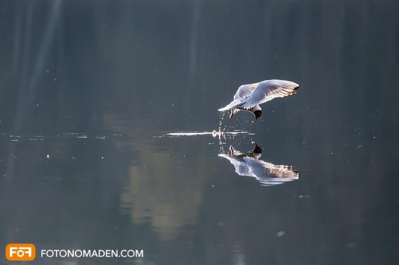 Seeschwalbe im Flug mit Spiegelung