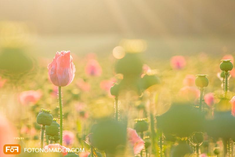 Mohnfeld - Naturfotografie im Sommer