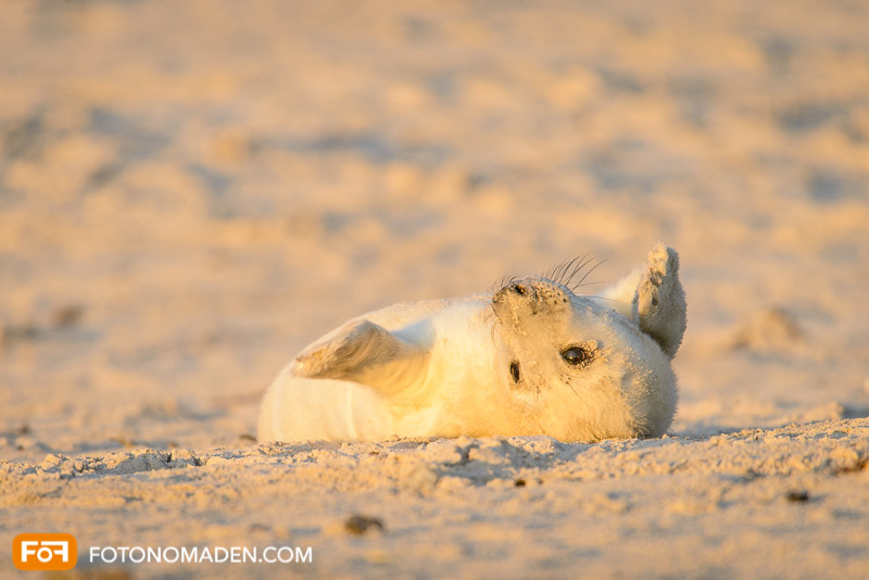 Babyrobbe auf Helgoland
