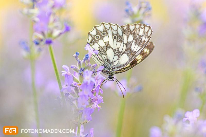 Schmetterling - Naturfotografie im Sommer